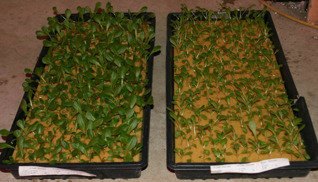 TotalGrow on left - Results 14 days after planting - fluorescent on right. photo courtesy of Steve Van Haitsma